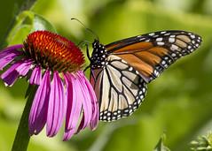 Monarch on Coneflower (Polytelis) Tags: coneflower monarch echinaceapurpurea danausplexippus insect prairie wildflowers singingwoodsnaturepreserve