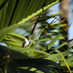 Red-whiskered Bulbul on palm frond