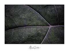Wegenkaart - Map (Marian Smeets) Tags: map wegenkaart nerf nervure detail groen green plant natuur nature natuurfotografie macro mariansmeets macrophotography macrofotografie nikond750 2018