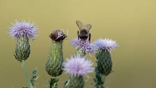 Bee and creeping thistle (Cirsium arvense) - Culm River, Cullompton, Devon - 13 July 2018