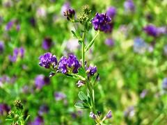Unidentified flowers (1293) (lnmp_ny) Tags: washington wenatchee swakanecanyon swakaneroad cashmere