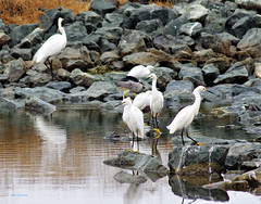 Waiting at the No Name Pumping station (Scott Severn) Tags: don edwards wildlife refuge snowy egrets blackcrowned night heron