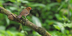 Rufous-browed Flycatcher (ChongBT) Tags: nature natural wild life wildlife animal bird avian ornithology watching birdwatching hobby anthipessolitaris anthipes solitaris rufous browed flycatcher malaysia