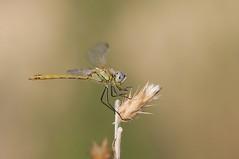 Un descanso vespertino (Aristides Díaz) Tags: vidasilvestre insecto libélula odonato zigóptero sympetrumfonscolombii vegadealhendin granada andalucía sigmaexdghsm150f28macro dragonfly