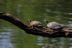 "Peace and smiles (Millie Cruz ""On and Off"") Tags: basking turtle water lake branch sunny smile redeared sliders turtles shell canoneos5dmarkiii tamronsp150600mm fishlines animalearth saveearth"