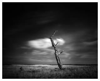 Dead Birch Tree #1