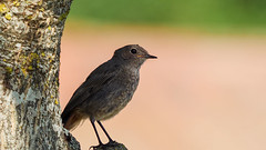 Rouge-queue - Redstart (Vermeringa) Tags: bird oiseau gh5 redstart