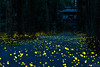 Festival of messenger (ck0375s) Tags: nature landscape scenery light insect firefly japan night wood forest nikon amateur bokeh