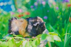 IMG_7545 (la_Distance) Tags: meerschweinchen cavies summer pets cavy