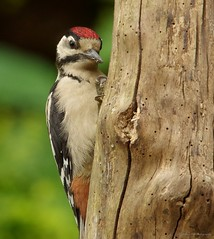 juvenile Great spotted woodpecker (Simon Dell Photography) Tags: great spotted woodpecker baby juvenile young 2018 june summer sheffield uk england bird large red head black white feathers garden log high res detail feeding woody wood forest cute simon dell photography wild wildlife nature greater
