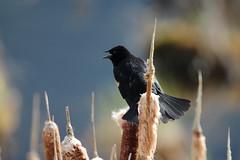 vermillion lakes (vipermikey) Tags: alberta banff banffnationalpark bird canada canadianrockies rockies rockymountains vermillionlakes