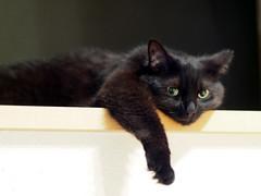 a prim face (test shot with OLYMPUS OM-D) (matsugoro) Tags: olympus digital omd em5markii cat animal myroom primface