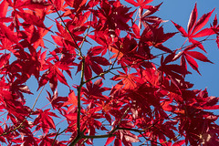 Bright (syf22) Tags: natural plant greenery shrub tree bush vine leaf red acer japaneseacer maple palmatemaple woody bright sky blue lookup up