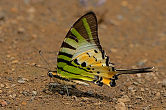 Graphium antiphates - the Fivebar Swordtail (BugsAlive) Tags: butterfly mariposa papillon farfalla schmetterling бабочка conbướm ผีเสื้อ animal outdoor insects insect lepidoptera macro nature papilionidae graphiumantiphates fivebarswordtail papilioninae wildlife chiangdaons chiangmai liveinsects thailand ผีเสื้อในประเทศไทย thailandbutterflies nikon105mm bugsalive ผีเสื้อหางดาบใหญ่