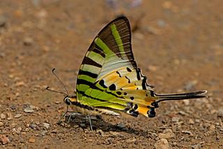 Graphium antiphates - the Fivebar Swordtail
