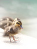 duckling (Tomo M) Tags: duck pond water bokeh tokyo animal fauna efs55250mmf456isstm