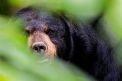 Black bear in the brush (evansmith16) Tags: wildlife michigan 300f4isl 80d canon blackbear