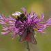 The Burnet and the Bumblebee