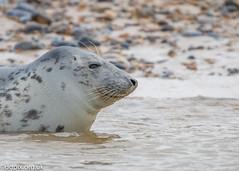 Common Seal (Danny Gibson) Tags: seal seals mammal aquaticmammal mammals blakeneypoint commonseal common dgpixorguk canon7dmk2 canon7d 70300mmf56l sigma150600mmhsmosdg