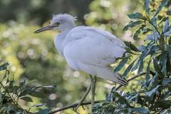 Blue Heron Fledgling (backyardzoo) Tags: alpha blue chich fledgling heron littleblue nest
