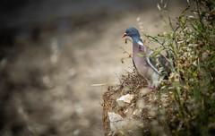 Clifftop Pigeon (1 of 1) (Ant Danbury) Tags: birds wildlife seaside clifftop pigeon nest