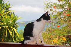 Tropical cat (morbidtibor) Tags: cat kat kater poes kitten pussycat seychelles praslin