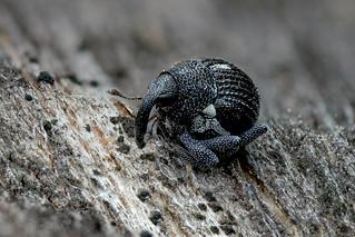 Dieser winzige Rüsselkäfer (Rutidosoma cf globulus) von gerade einmal ca. 1,5 mm hält wohl gerade Mittagsschlaf