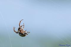 Araignée  spider (Ezzo33) Tags: araignée spider france gironde nouvelleaquitaine bordeaux ezzo33 nammour ezzat sony rx10m3 parc jardin insecte insectes specanimal
