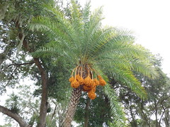 Date with a palm.. (saltlifebeach5443) Tags: datepalm dates fruit edible sweet flowering plant cultivated palm