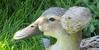 Kuifeend (Meino NL OFF LINE UNTIL JUNE 26) Tags: eend duck kuifeend