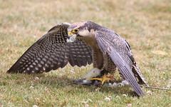 Falcon feeding. (wurzel.pete.3.5 Million views,Ta!) Tags: 1718 falcon birdofprey food feeding uk surrey