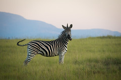 (Jack Haughton) Tags: africa mlilwane softlight swaziland wildlife zebra