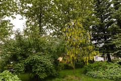 Hjónarós og garðagullregn (eygloaradottir) Tags: 2018 júlí bl´om hjónarósrosasweginzowii selfoss tré gróður garðagullregnlaburnumxwatereri sumar