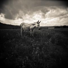 Out to Pasture (Jeff Wild) Tags: donkey custerstatepark custer state park wildlife loop wildlifeloop pasture holga