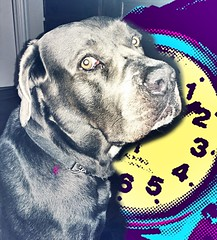 What time we have ? #canecorso #canecorsomania #dogsareawesome #bigdog #pies #time (ma4werner) Tags: canecorso canecorsomania dogsareawesome bigdog pies time
