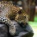 indian leopard!