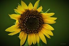 Sunflower (Anton Shomali - Thank you for over 1 million views) Tags: flower sunflowe sunflower plant closeup garden backyard yellow seeds green brown summer summerflowers