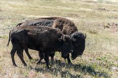 Bison am Windcave NP (sgplewka) Tags: windcavenp usa 2017 animals bison tiere urlaub hotsprings southdakota us