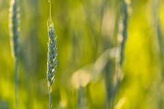 Treasures Buried (Kevin Tataryn) Tags: wheat farm crops plant food nikon d500 300mm f4pf canada grain grains golden light