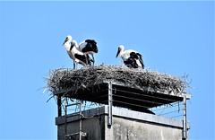 Storks 30.06 (4) (tabbynera) Tags: storks