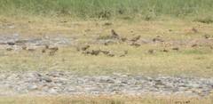 linnets Carduelis cannabina cf autochthona fringillidae (BSCG (Badenoch and Strathspey Conservation Group)) Tags: coul bird finch flock fringillidae carduelis ukredlist july