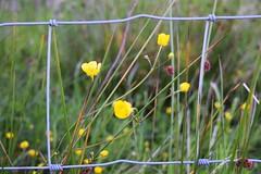 hff 65 (Harry McGregor) Tags: fence fencedfriday grass buttercups meadow countryside bokeh dof depthoffield nikon d3300 harrymcgregor 24 july 2018 ayrshire eastayrshire scotland dumfrieshouse