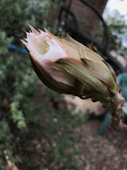 Six Night Blooming Cereus Buds Begin to Open At 4 PM (Chic Bee) Tags: bokeh dof southwesternusa americansouthwest arizona tucson sonorandesert alhambra 4pm beginningtoopen flowerbuds nightbloomingcereus blooming starting opening cactus bud