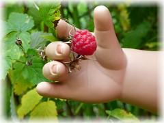 Die gehört mir ! / This is mine ! (ursula.valtiner) Tags: hand finger himbeere raspberry doll puppe masterpiecedoll künstlerpuppe garten garden