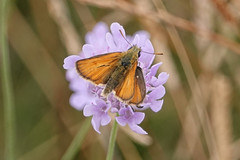 Small Skipper (Sky Kite) Tags: thymelicussylvestris beaconhill burghclere highclere hampshire england