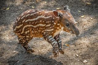 Frisky Tapir Calf