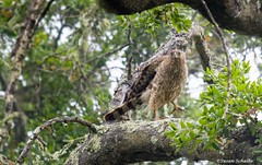 Striking terror in the forest (Photosuze) Tags: hawks raptors predators birds avians aves nature wildlife animals coopershawk forest perched birdsofprey young