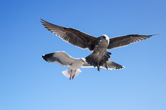 Scouting Gull (kevinpsiu) Tags: pacificgrove california unitedstates us bird