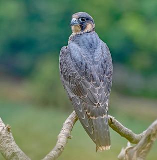 DSC8334  Peregrine Falcon.