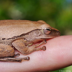 20180705 - 24  Four-lined Tree-frog, but do not bother to count the lines as these frogs are quite varied; better name is Common Tree-frog. This one was found on a white wall which may have influenced its appearance; Polypedates leucomystax, circa 45mm. (Henry Aldridge) Tags: frogs singapore henryaldridge amphibia anura rhacophoridae polypedates whippingfrogs polypedatesleucomystax fourlinedtreefrog